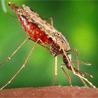 Bệnh sốt rét đã có ít nhất 20.000 năm tuổi đời
