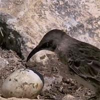Bí ẩn loài chim hút máu ở đảo Galaparos