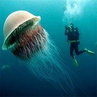 Bí ẩn nọc độc chết người của loài sứa khổng lồ chưa có lời giải
