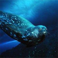 Bí ẩn tiếng ồn siêu âm của hải cẩu tạo dưới nước chưa có lời giải