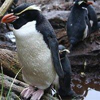 Bí ẩn về loài chim cánh cụt sống trong rừng, tắm 3 tiếng mỗi ngày