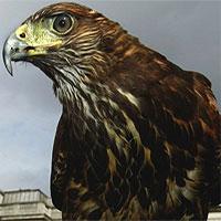 Bí mật bất ngờ biến chim ưng thành loài săn mồi