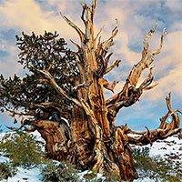 Bí mật của cây cổ nhất thế giới còn sống