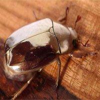 Bí mật đằng sau màu sắc ảo diệu của bọ óng Trung Mỹ