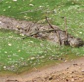 Bí mật săn mồi của cá sấu