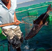 Biến cá ăn thịt thành ăn chay