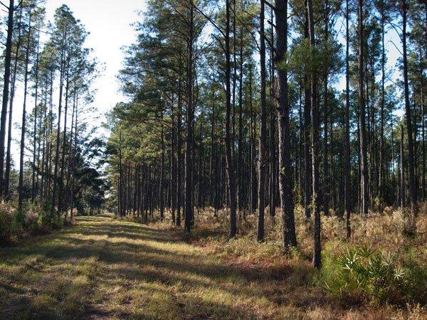Biến đổi cây thông để tăng khả năng hấp thu carbon
