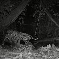 Biến đổi khí hậu dẫn tới hành động tàn bạo của loài báo đốm