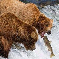 Biến đổi khí hậu khiến gấu xám chê cá hồi, chuyển sang ăn quả