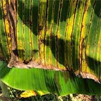 Biến đổi khí hậu làm phát triển các bệnh ở cây chuối