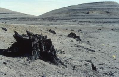 Biến đổi khí hậu thời cổ đại: cây họ cọ nhường chỗ cho cây vân sam