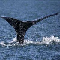 Biển nóng lên bức tử cá voi trơn Bắc Đại Tây Dương tới tuyệt chủng