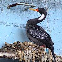 Bờ biển Chile ô nhiễm, chim cốc dùng rác thải nhựa làm tổ