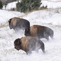 Bò bison tái xuất tại vườn quốc gia Mỹ