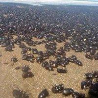 Bọ hung phủ kín bờ biển Argentina báo hiệu ngày tận thế?