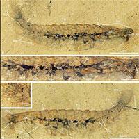Bộ não hóa thạch được tìm thấy trong các sinh vật giống như bọ cổ đại