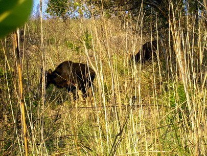 Bò tót xuất hiện ở rừng Ninh Thuận