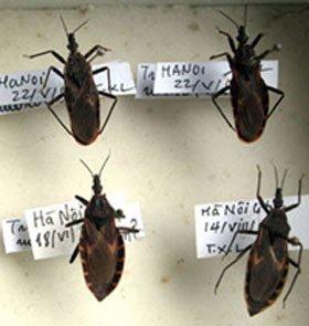 Bọ xít hút máu ở Việt Nam ít có khả năng gây bệnh nguy hiểm