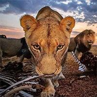 Bức ảnh sư tử kiêu hãnh đứng trên đồi toàn xương như cảnh quay