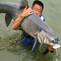 Cá chép khổng lồ cắn câu, kéo ngư dân Trung Quốc xuống hồ 6 lần