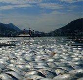 Cá chết hàng loạt trong phá tại Brazil