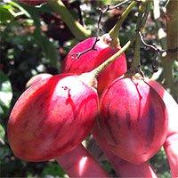 Cà chua lạ: Chua như chanh leo, thơm mùi dứa