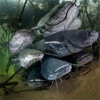Cá da trơn khủng xâm chiếm Châu Âu, chúng to lớn tới mức có thể ăn thịt chim bồ câu và chó