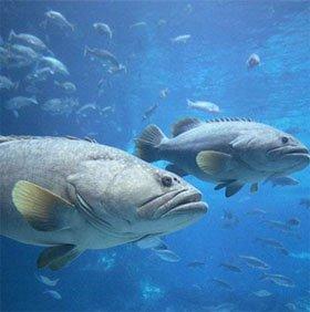 Cá dùng