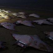 Cá đuối bay chết bí hiểm đầy bờ biển