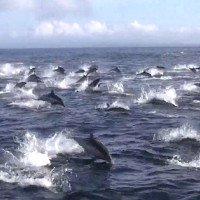 Cá heo hỗn loạn bỏ trốn khi cá voi sát thủ phục kích
