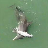 Cá heo ôm xác con đẩy lên mặt nước trong tuyệt vọng