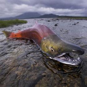 Cá hồi và cơ chế sinh sản bí ẩn chống