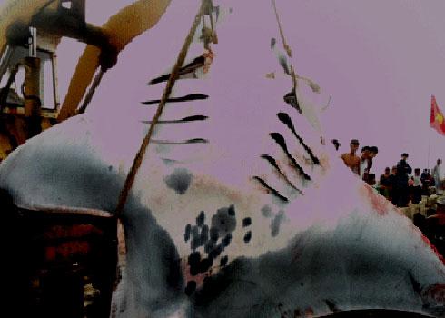 Cá khổng lồ sa lưới ngư dân