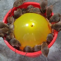 Cả lũ chuột sập bẫy cùng lúc vì một quả bóng bay, xô nhựa và mồi