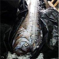 Cá mái chèo dài 5 mét bị tưởng nhầm là thủy quái