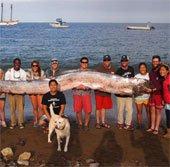 Cá mái chèo dài hơn 5m