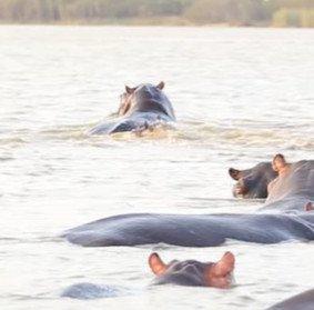 Cá mập bò đối mặt đàn hà mã