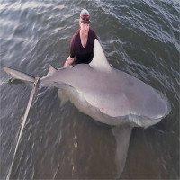 Cá mập bò mang thai dài 3m cắn câu trên sông Australia