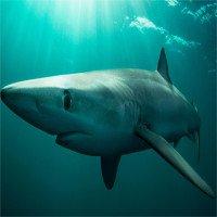 Cá mập lưỡng tính đầu tiên mắc lưới ngư dân Đài Loan