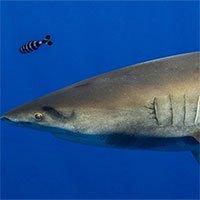 Cá mập sống sót sau cuộc chiến với mực khổng lồ