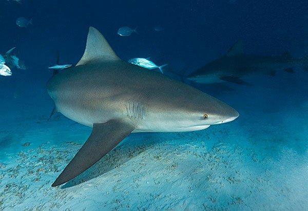 Cá mập sông - Sự thật hay lời đồn?
