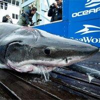Cá mập trắng bị đồng loại ngoạm rách đầu