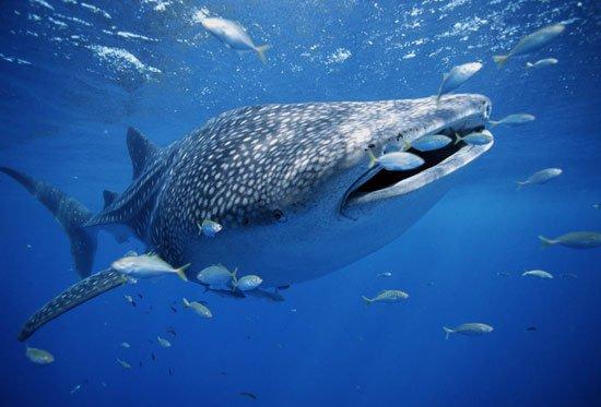 """Cá mập voi cái là """"một ngân hàng tinh trùng sống""""?"""