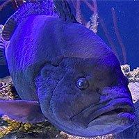 Cá mú trầm cảm sau khi ăn thịt hết bạn cùng bể