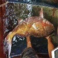 Cá nặng 8kg nghi là cá sủ vàng bạc tỷ dính lưới ngư dân