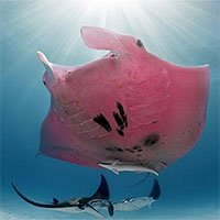 Cá nạng hải màu hồng