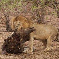 Cá sấu bị sư tử xé xác vì dám cả gan cướp mồi
