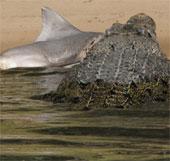 Cá sấu cắn chết cá mập