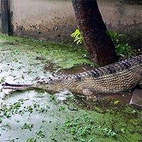 Cá sấu cực kỳ nguy cấp sinh sản sau hai năm ghép đôi