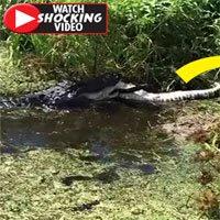 Cá sấu khổng lồ phục kích, ăn thịt đồng loại ở Florida